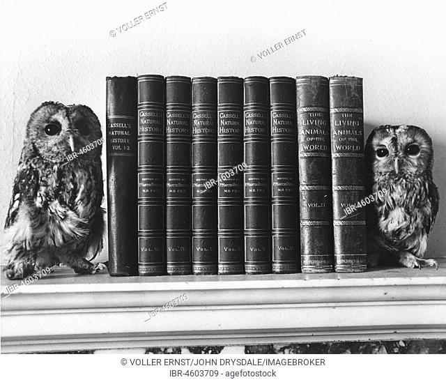 Two owls sitting on a bookshelf, England, Great Britain
