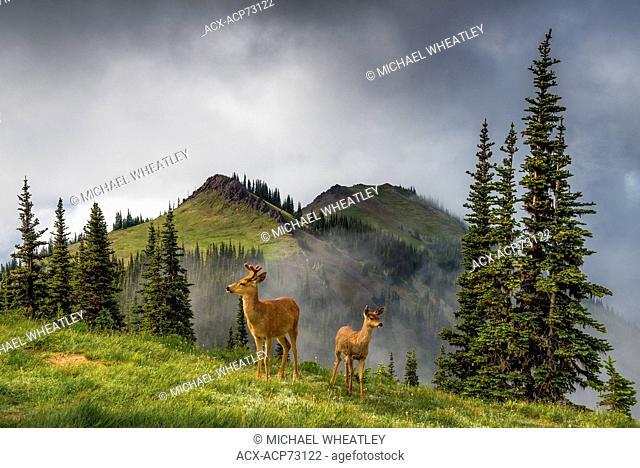 Columbian black tailed deer, Blue Mountain, Olympic National Park, Washington, USA