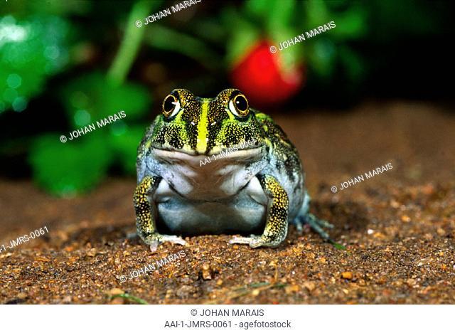 Juvenile Bullfrog, Midrand, Gauteng, South Africa