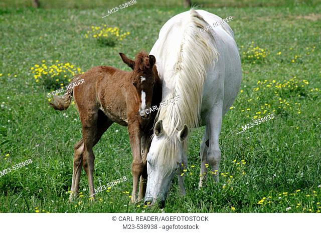 A newly born foal huddles close to its mother