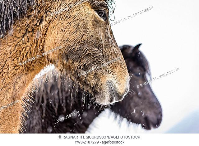 Wet Icelandic horses outside in a snowstorm, Iceland
