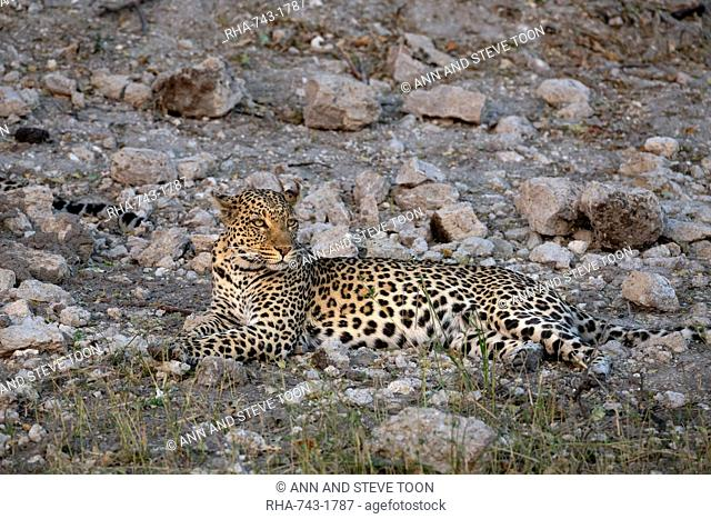 Leopard, Panthera pardus, female, Chobe national park, Botswana, Southern Africa