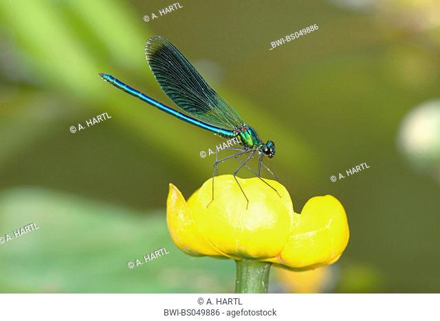 banded blackwings, banded agrion, banded demoiselle (Calopteryx splendens, Agrion splendens), on flower of a pond.lily, Germany, Bavaria, Isental, Dorfen