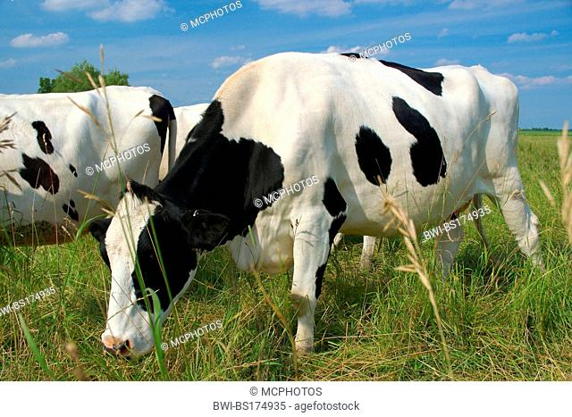 grazing Holstein cow