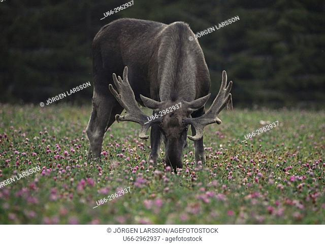 Moose bull, Bjornlunda, Sodermanland, Sweden