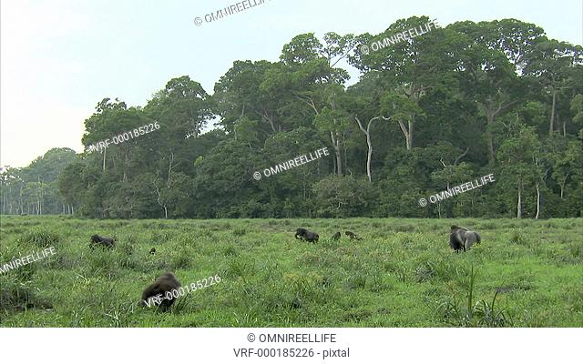 Mikumba the Silverback Western Lowland Gorilla and other Gorillas sitting in open area with trees of forest behind