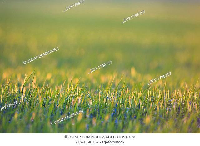 Grass at sunset  Lleida  Catalonia  Spain