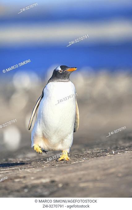 Gentoo penguin (Pygocelis papua papua) walking, Sea Lion Island, Falkland Islands, South Atlantic, South America