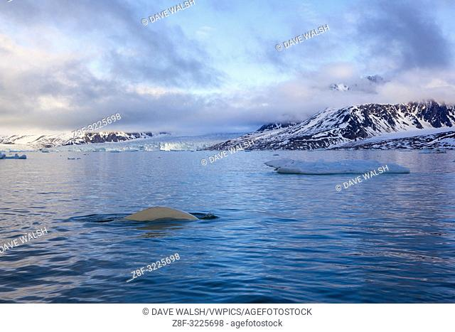 Beluga or white whale, Delphinapterus leucas in Leifdefjorden, northern Svalbard. Leifdefjorden lies within Northwest Spitsbergen National Park (Nordvest...