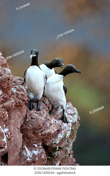 Guillemot with fish Helgoland