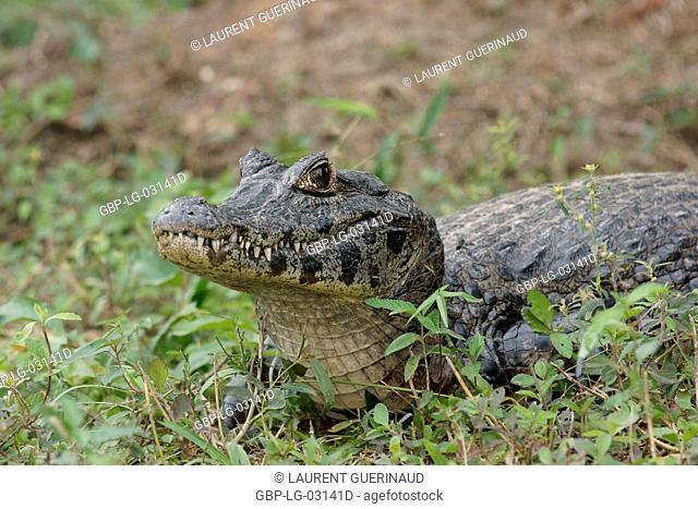 Animal, Alligator-pity-swampland, Pantanal, Mato Grosso do Sul, Brazil