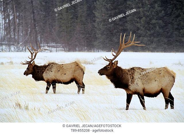 Elk Cervus elaphus