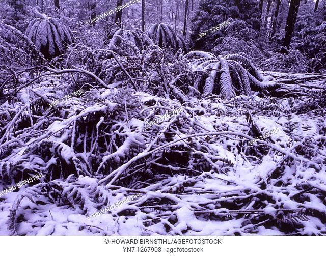 Australian high country in winter tree ferns under snow