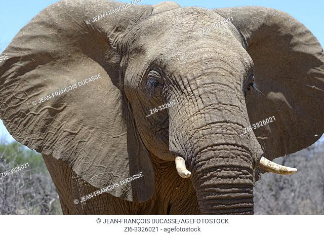 African bush elephant (Loxodonta africana), adult male, animal portrait, close-up, Kruger National Park, South Africa, Africa
