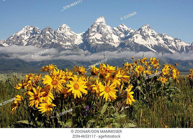 Mule's ears flowers, Grand Teton National Park, Wyoming, USA