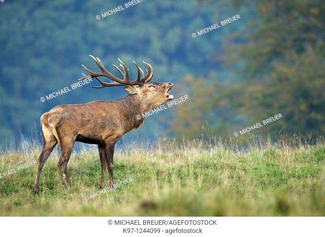 Red Deer (Cervus elaphus)in rutting season, Denmark, Europe, Rothirsch, Rotwild