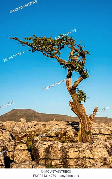 A lone tree amonst limestone pavement on Twistleton Scar above the village of Ingleton in the Yorkshire Dales