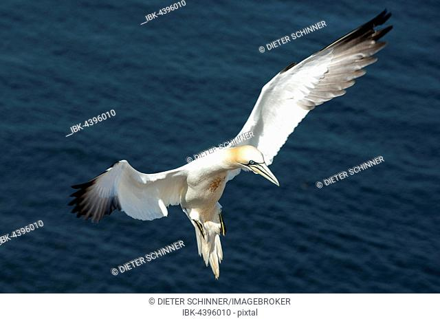 Northern gannet (Morus bassanus) landing, Helgoland, North Sea, Schleswig-Holstein, Germany