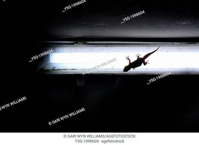 lizard gecko on light bulb outside at night