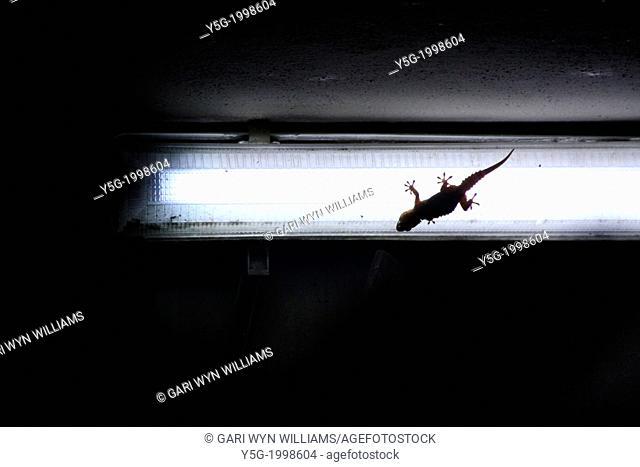 lizard gecko on light bulb outside at night
