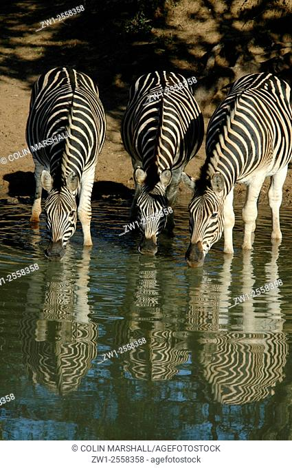 Burchell's Zebra (Equus burchellii) trio drinking with reflection at waterhole, Mkhuze Game Reserve, South Africa