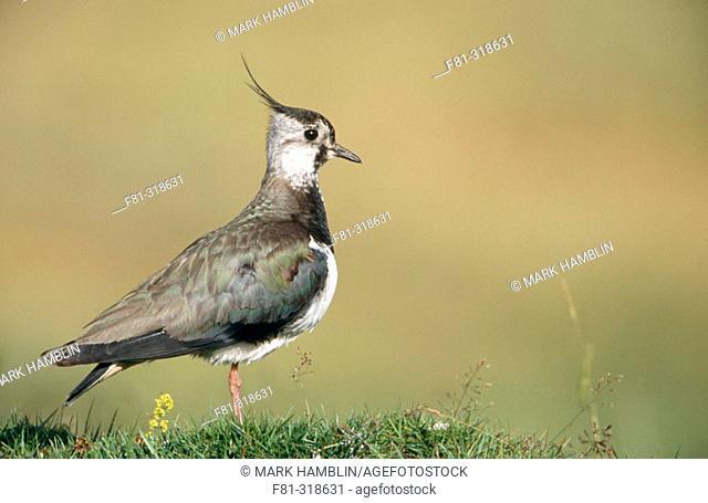 Lapwing (Vanellus vanellus). Close-up portrait of adult. UK