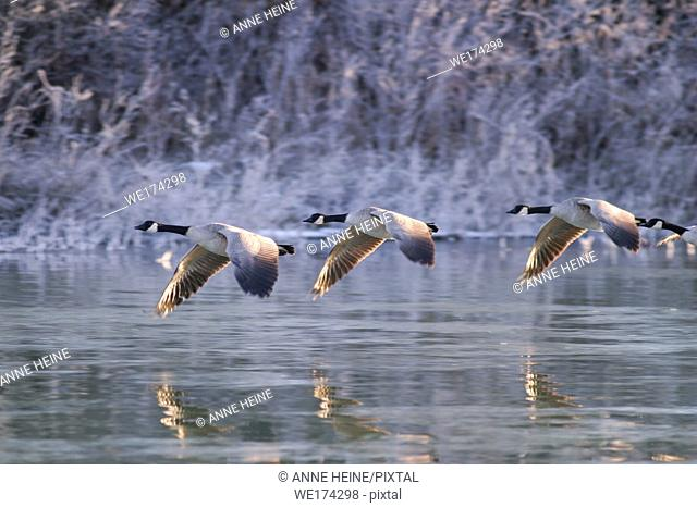 Canada geese flying over water at sunrise, Calgary, Alberta, Canada