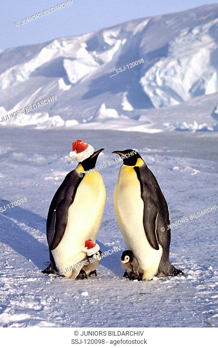 emperor penguin with cubs - two with Santa Claus cap / Aptenodytes forsteri