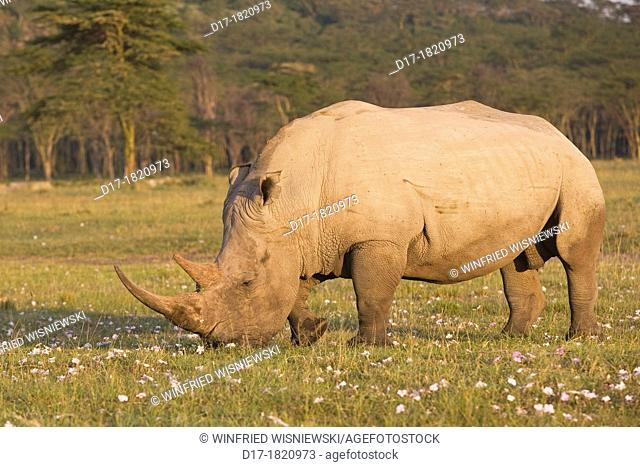 White rhino (Ceratotherium simum) at Lake Nakuru, Kenya