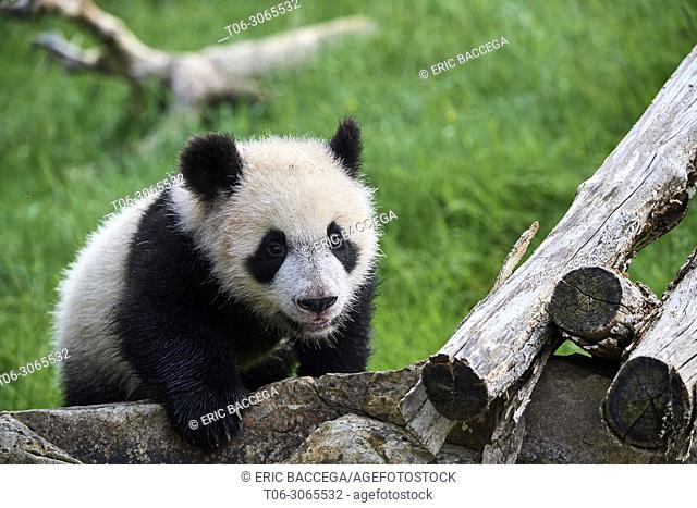 Giant panda cub (Ailuropoda melanoleuca) exploring during its outings in the enclosure. Yuan Meng, first giant panda ever born in France, is now 10 months old