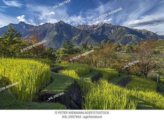 Paddy field in the Gardens of Trauttmansdorff Castle, Merano, South Tirol, Italy, Europe