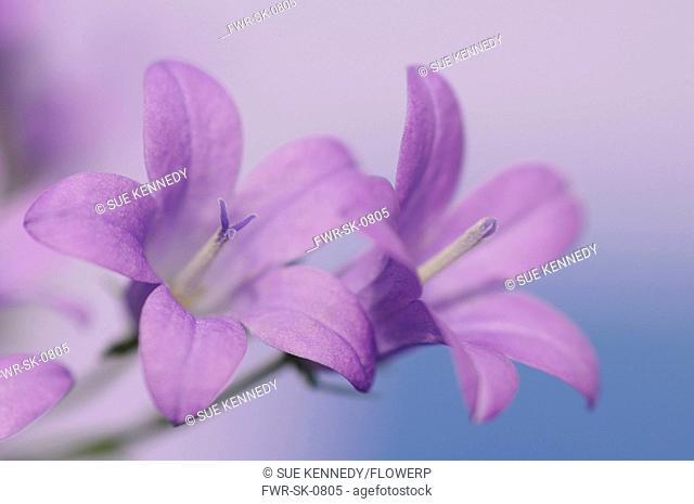 Campanula isophylla, Campanula, Bellflower, Italian bellflower, Purple subject