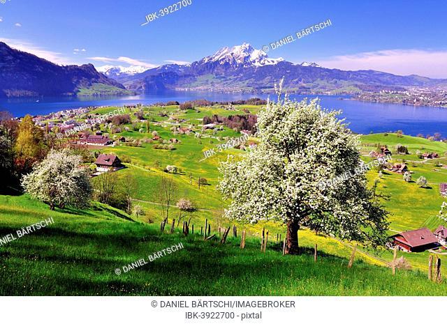 Fruit trees in full bloom near Weggis, Lake Lucerne and Mount Pilatus at the back, Canton of Lucerne, Switzerland