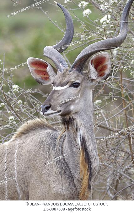 Greater kudu (Tragelaphus strepsiceros), adult male, alert, Kruger National Park, South Africa, Africa