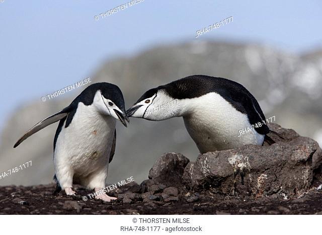 Chinstrap penguins Pygoscelis antarctica, Aitcho Island, Antarctica, Polar Regions