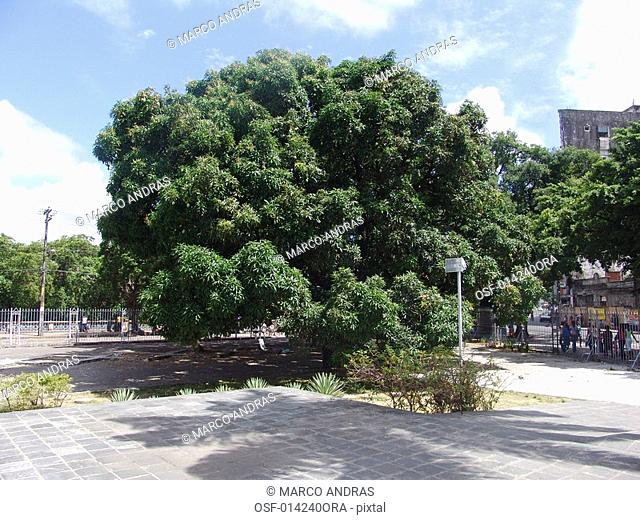 green tree vegetation at pernambuco square
