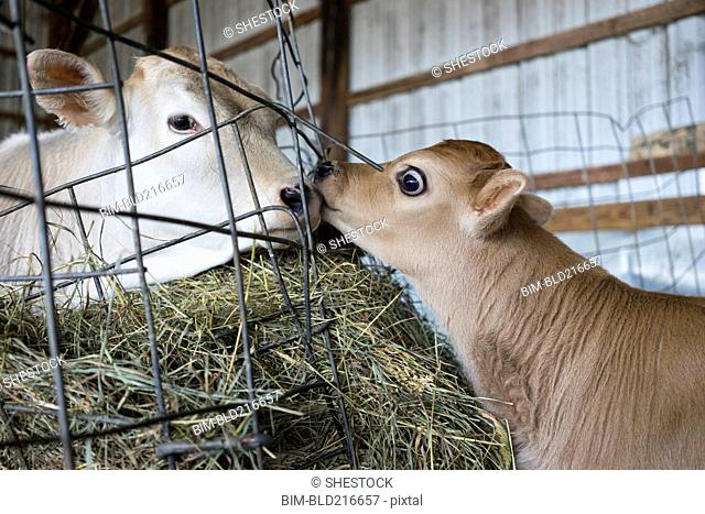Calf and cow nuzzling through barn fence