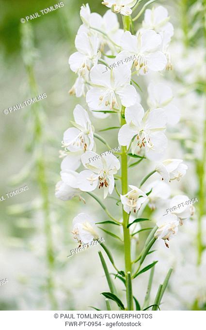 White-flowered rosebay willowherb, Chamaenerion angustifolium 'Album'