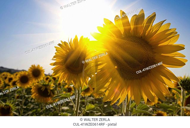 Close up of sunflowers in field