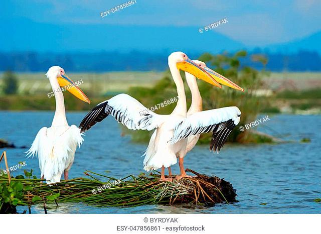 Great white pelican in lake, Kenya, Africa
