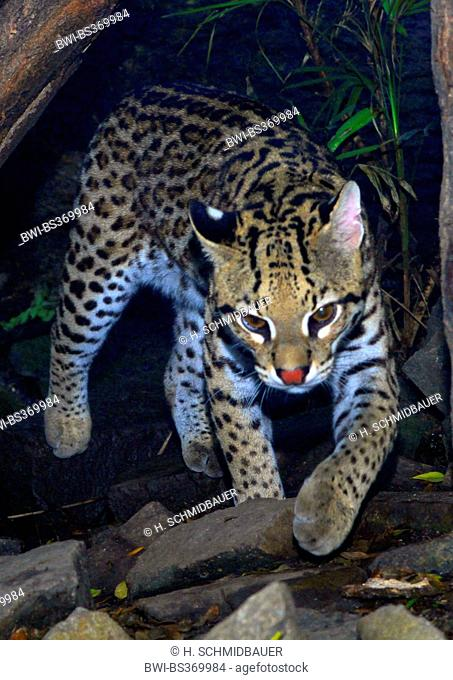 Ocelot, Dwarf leopard (Felis pardalis, Leopardus pardalis), walking over stones