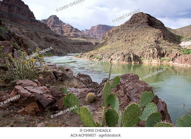 Opuntia basilaris, the Beavertail Cactus, Colorado River, Grand Canyon, Arizona, United States