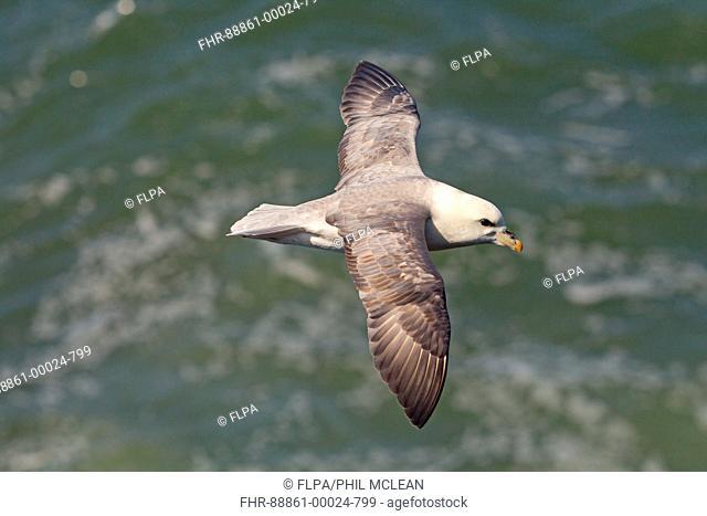 Fulmar Fulmarus glacialis in flight,topside,sea background at the coast in East Lothian in Scotland,in may