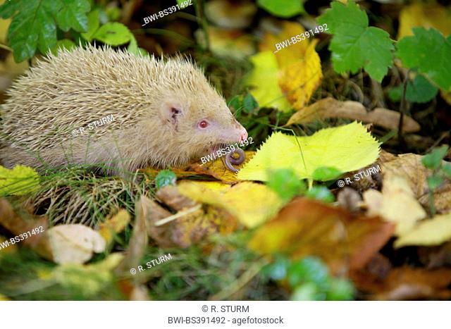 Western hedgehog, European hedgehog (Erinaceus europaeus), white albino eating an earth worm, Germany, Bavaria