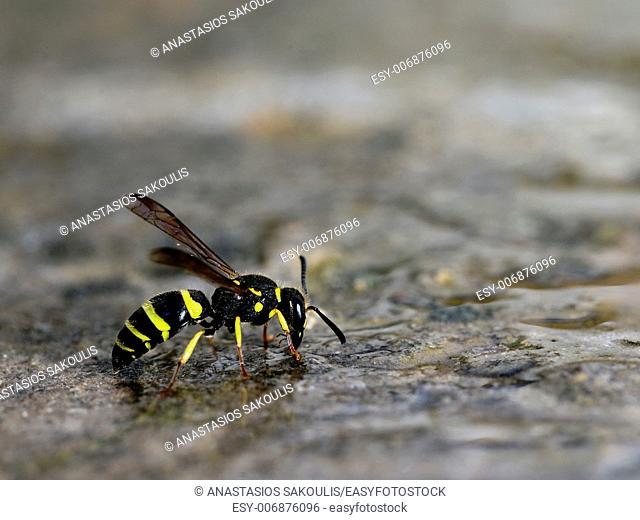 Wasp, Crete, Greece