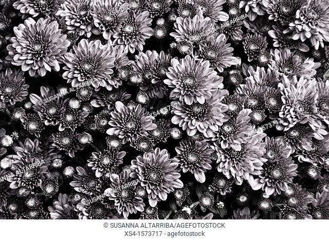 Chrysanthemums, mums or chrysanths