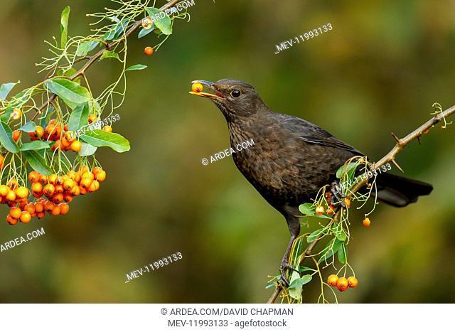 Blackbird - Female Eating Pyracantha Berry - Cornwall - UK