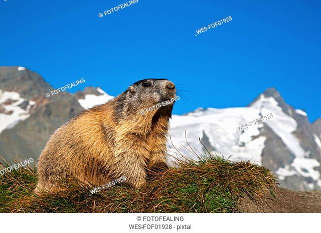 Austria, Grossglockner, Alpine Marmot Marmota marmota