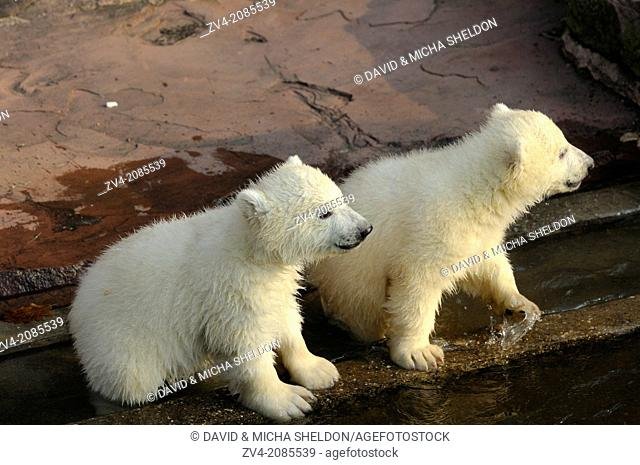 Close-up of two polar bear (Ursus maritimus) cubs in a zoo, Germany