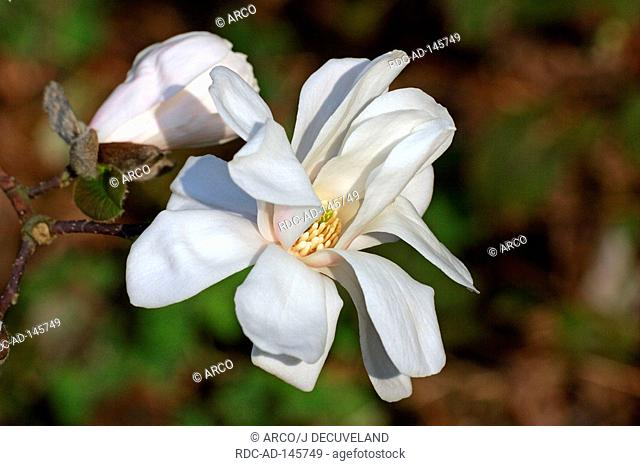 Magnolia 'Merrill' Magnolia x loebneri